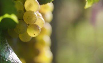 Le Chardonnay:  roi des cépages blancs