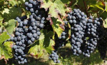 Bordeaux: six nouveaux cépages autorisés