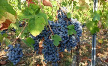 Colmar : l'Inrae inscrit quatre nouvelles variétés de vignes résistantes au mildiou, moins de pesticides nécessaires